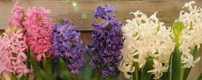 Hyacinth cropped