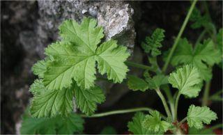 Geranium cropped