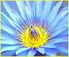 Blue_lotus_flower